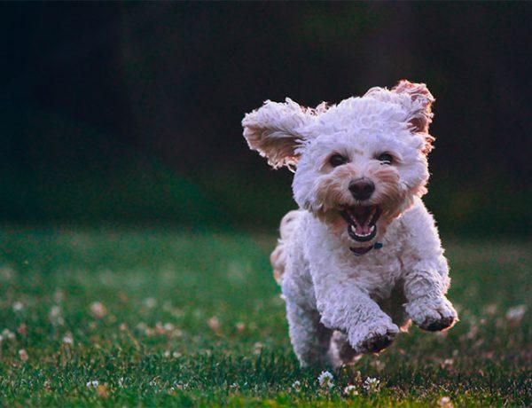 Hund løber på græs
